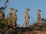 Whiskers meerkats