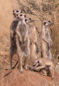 Lazuli meerkats Meerkat Manor Whisker's Enemies