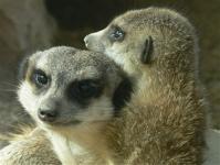 Meerkats Erdmaennchen Kinderzoo Rapperswil